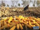 2018年辽宁省非优势区玉米将调减4万公顷以上