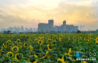 城市里的向日葵花海