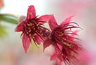 微距镜头下美丽樱花