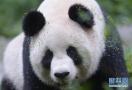 """啥?大熊猫""""变性"""":""""拆迁女王""""变成大少爷啦!"""