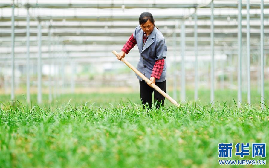 在江西全南县中寨乡中坑村蔬菜联产联销种植基地,农民在韭菜地里进行田间管理(4月24日摄)。
