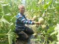 改大棚草莓种网纹瓜 平度农民