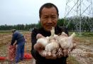 蒜价再陷低谷 地头鲜蒜一斤七八毛仅为去年同期一半