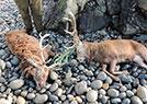 苏格兰惊现赤鹿尸体