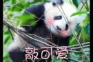 大熊猫进化史将还原