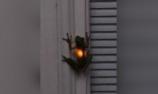 青蛙吞下萤火虫后闪闪发光