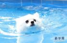三伏天带爱犬去游泳 都需要注意哪些问题?