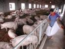 连云港东海县多个养殖户现大面积猪死亡 副镇长回应