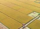 金色丰收稻飘香