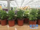 饒陽冠志現代農業園區盆栽植物 熱銷周邊多個城市