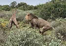 新生的长颈鹿被吃掉