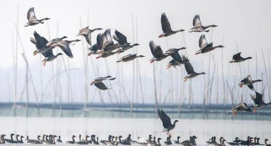 """江苏盱眙:湿地成为""""候鸟乐园"""""""