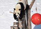 大熊猫又迎雪季