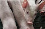 农业农村部:湖北省浠水县发生非洲猪瘟疫情