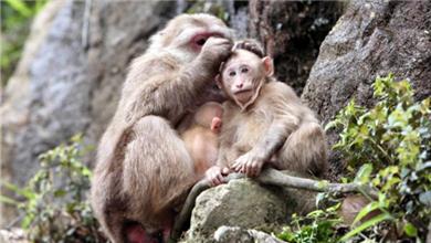 九华山:短尾猴的悠闲生活