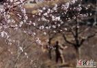 河北遵化:春分剪枝忙