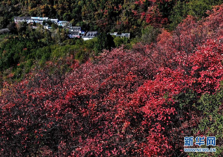 (环境)(1)红叶漫山秋意浓
