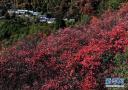 河南洛宁:红叶漫山秋意浓