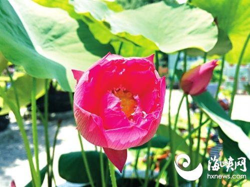 茶亭公园今年首朵碗莲绽放 新增30多种碗莲为迷你袖珍型