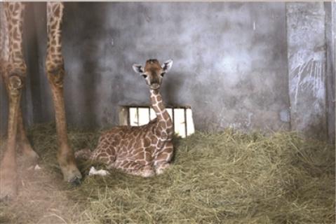 南非長頸鹿來常10年 第一次産下鹿寶寶