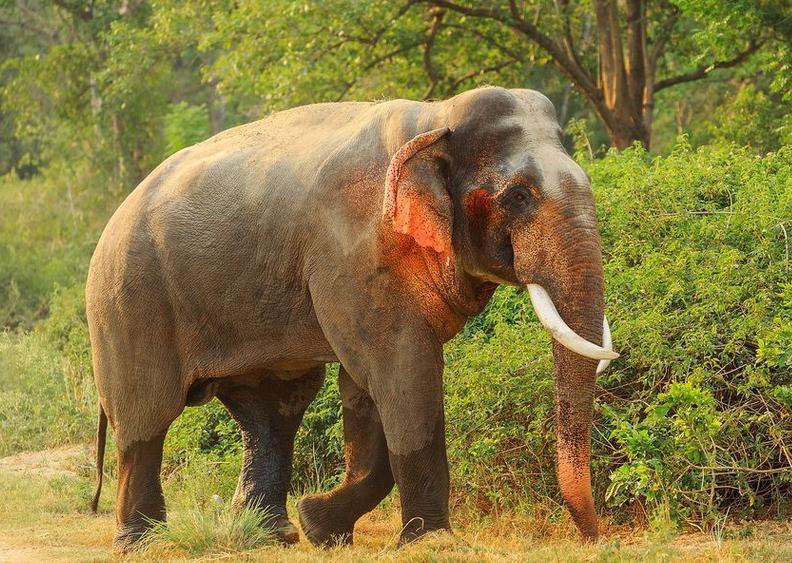 印度发现红耳大象