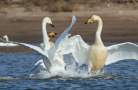 山青水绿 600多只野生大天鹅飞临大连