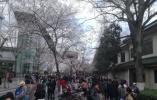 鸡鸣寺赏花攻略出炉 北京东路等路段需绕行
