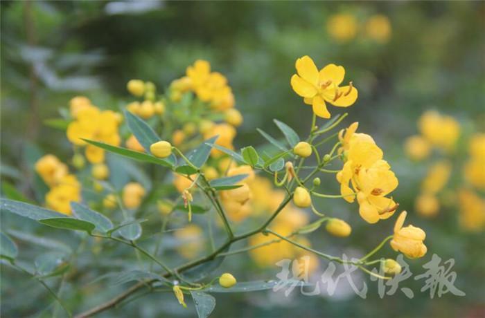 """花有5片花瓣,花蕊细长,像撑起了一把把""""小黄伞"""".叶色"""