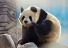 北京动物园内大熊猫