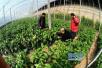 """兰陵蔬菜销往全国 有市场的地方就有""""苍山蔬菜"""""""