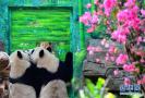 双胞胎大熊猫萌死人