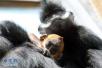 萌翻了!世界首例珍稀黑叶猴龙凤胎跟游客见面