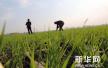济南市绿色防控小麦病虫害 确保今年夏粮丰收