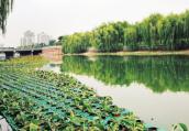 """郑州东风渠水面上""""长""""出座座绿化岛 打造三季常绿动态生态景观"""