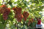 成安发展有机葡萄产业助农民脱贫增收