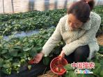 河南鲁山:冬日,大棚草莓红了
