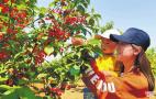 河南宜阳:玛瑙樱桃红 市民采摘乐