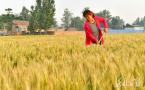 河北邯郸:麦穗泛黄 丰收在望