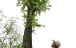 河南淮滨:百年古树重焕新枝