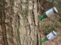 青岛烟台等4市发生松材线虫病疫情 防控形势严峻