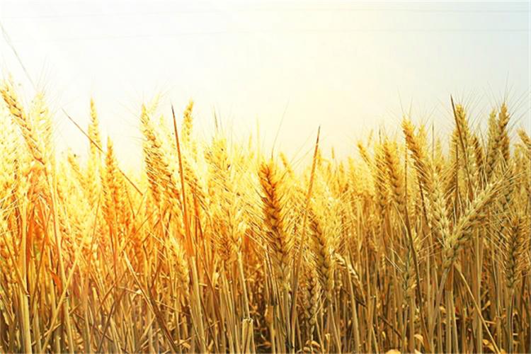 田家少闲月,五月人倍忙。正是一年麦收时,沃野流金欢歌唱。今年风调雨顺,小麦喜获丰收,眼下的中原大地,处处呈现出繁忙的景象。
