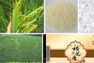 東北大米進入淡季需求持續萎縮 粳稻價格保持堅挺