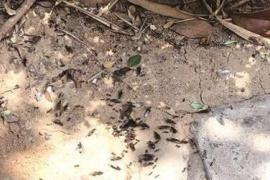 洛陽一小區出現蟻群 是不是惱人的白蟻?