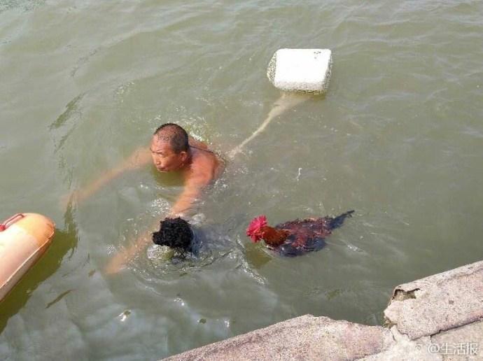 奇事!大公鸡竟然能游泳 陪主人健身引围观