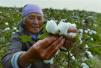 新疆试点保险与期货跨界合作 为百万棉农避险