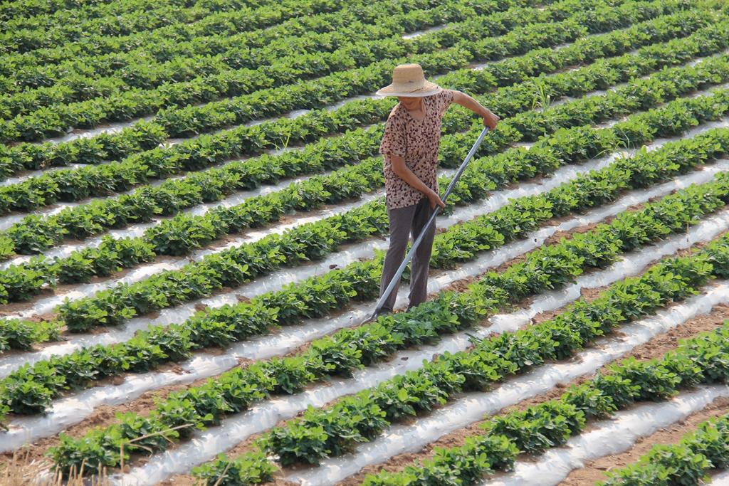 山东:芒种农忙