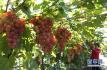 小小的一颗葡萄 却有惊人养生功效