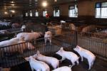 黑龙江哈尔滨排查出非洲猪瘟疫情 死亡269头