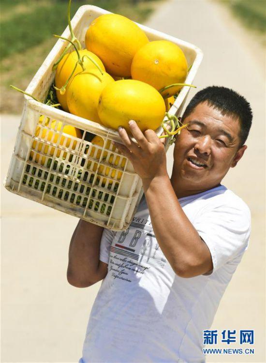 衡水:甜瓜飘香富农家 农民增收乐悠悠