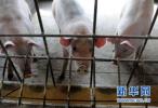 河北省开展非洲猪瘟防控专项整治